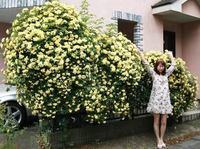 モッコウ薔薇とRIO2015全体3.jpg